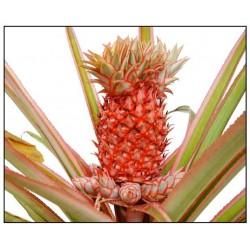 Pineapple fond (фонд Ананас)