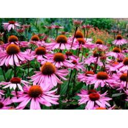 Натуральный экстракт эхинацеи (Echinacea Flavouring Preparation) 26